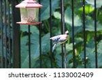 blue jay bird songbird flying... | Shutterstock . vector #1133002409