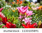 lilies in a colorful garden | Shutterstock . vector #1133105891