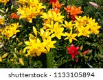 lilies in a colorful garden | Shutterstock . vector #1133105894
