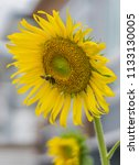 bumblebee and sunflower  bee is ...   Shutterstock . vector #1133130005