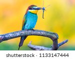 exotic bird keeps dragonfly in... | Shutterstock . vector #1133147444