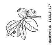 bilberry   vector hand drawn... | Shutterstock .eps vector #1133154827