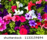 Crimson Colorful Blooming New...