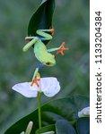 Frog Red Eyed Amazon Tree Frog...