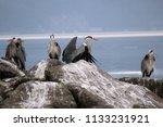 grey herons standing on the... | Shutterstock . vector #1133231921