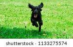 Stock photo puppy running across grass 1133275574