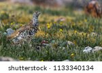 a white tailed ptarmigan in... | Shutterstock . vector #1133340134