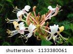 Flower Of Honeysuckle