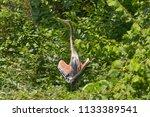 red heron with open wings... | Shutterstock . vector #1133389541