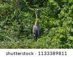 red heron waiting in the woods | Shutterstock . vector #1133389811