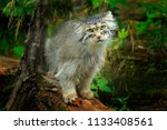 Manul Or  Pallas's Cat ...