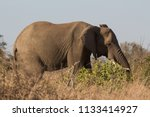 portrait of a a big old african ... | Shutterstock . vector #1133414927