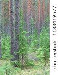 pine forest in the leningrad... | Shutterstock . vector #1133419577