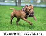 a brown pit bull plays run | Shutterstock . vector #1133427641