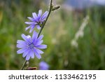 wild blue cornflower close up... | Shutterstock . vector #1133462195