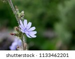 wild blue cornflower close up... | Shutterstock . vector #1133462201