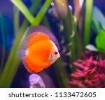 beautiful fish in an aquarium.   Shutterstock . vector #1133472605