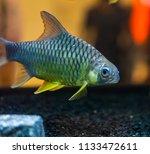 beautiful fish in an aquarium.   Shutterstock . vector #1133472611