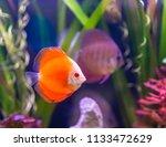 beautiful fish in an aquarium.   Shutterstock . vector #1133472629