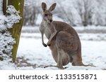 The red kangaroo on snow....
