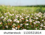 phyla nodiflora or cape weed ... | Shutterstock . vector #1133521814