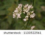 white wild carrot | Shutterstock . vector #1133522561