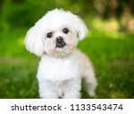 a small fluffy white mixed... | Shutterstock . vector #1133543474