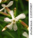 flowers of common soapwort ...   Shutterstock . vector #1133555807