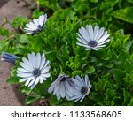 close up view to white flowers... | Shutterstock . vector #1133568605