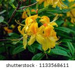 bright yellow flowers of... | Shutterstock . vector #1133568611