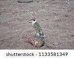 darwin finch on the beach   Shutterstock . vector #1133581349