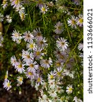 pretty pale white flowers of... | Shutterstock . vector #1133666021