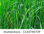 a small heron hides in the... | Shutterstock . vector #1133740739