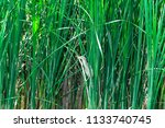 a small heron hides in the... | Shutterstock . vector #1133740745