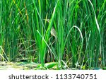 a small heron hides in the... | Shutterstock . vector #1133740751