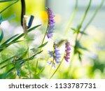 tufted vetch  vicia cracca ...   Shutterstock . vector #1133787731