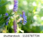 tufted vetch  vicia cracca ...   Shutterstock . vector #1133787734
