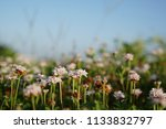 phyla nodiflora or cape weed ... | Shutterstock . vector #1133832797