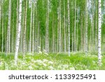 Birch Trees And A Green Meadow...