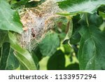 A Nest Of Caterpillars Of The...