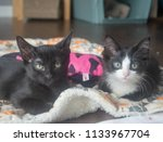 Stock photo two kittens laying together 1133967704