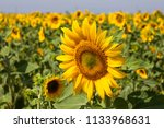 a sunflowers field view | Shutterstock . vector #1133968631