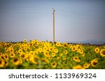 focus on a sunflowers field | Shutterstock . vector #1133969324