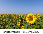a sunflowers field | Shutterstock . vector #1133969327