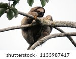 Small photo of Sloth of three fingers are one of the species that inhabit the Panamanian jungles mainly near the cecropia trees