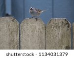 mountain finch on a fence   Shutterstock . vector #1134031379