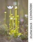 marsh grass of parnassus ... | Shutterstock . vector #1134065084