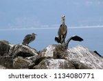 grey herons standing on the... | Shutterstock . vector #1134080771
