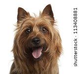 Australian Terrier  8 Years Ol...