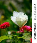 a beautiful white butterfly in... | Shutterstock . vector #1134117815